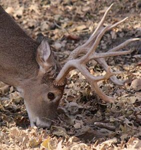 Buck-Feeding